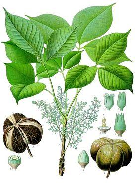 Đặc điểm thực vật học cây cao su
