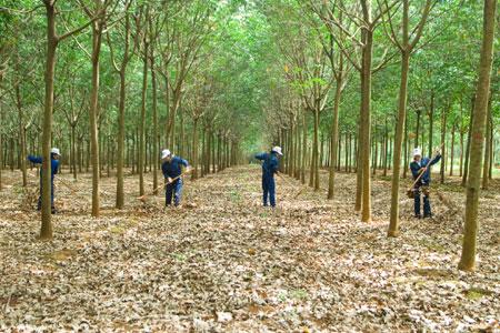 Chăm sóc vườn cây cao su kinh doanh