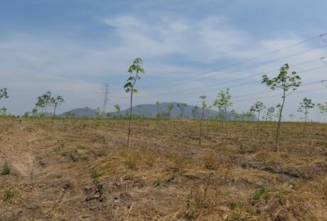 Người dân trồng cao su cần theo quy hoạch và khuyến cáo